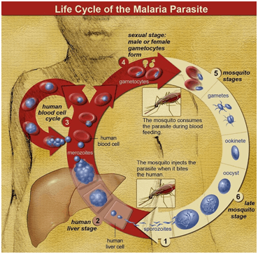 life cycle of malaria parasite Biomagnetism